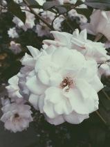 International Rose Test Garden, Portland, OR (08/23/2015)