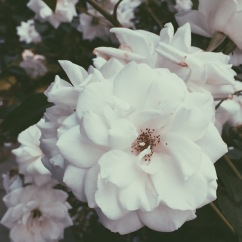 International Rose Test Garden, Portland, OR (08/23/2015)